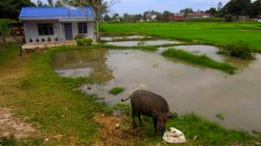 House in Balige with pond and water buffalo