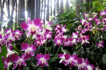 National Orchid Garden. Singapore.