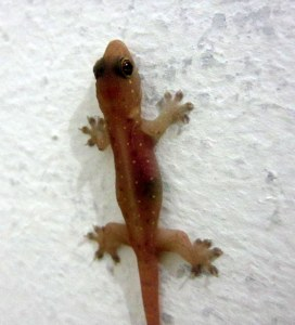 Gecko (cicak) on the wall