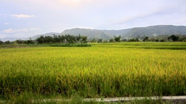 Almost harvest time. Balige, North Sumatra, Indonesia