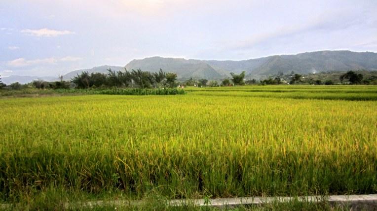 Almost harvest time. Balige, North Sumatra, Indonesia