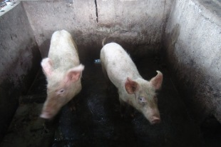 It is common for Batak people to keep pigs.