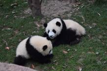 At the Chengdu Panda Research Center