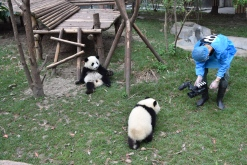 At the Chengdu Panda Research Center