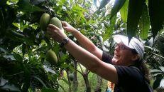 Picking mangoes!
