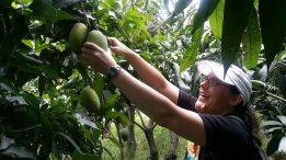 Picking mangoes!