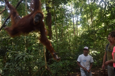 Orang Hutan in the forest at Bukit Lawang, Indonesia
