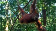 Orang Hutan in the forest at Bukit Lawang, Indonesia